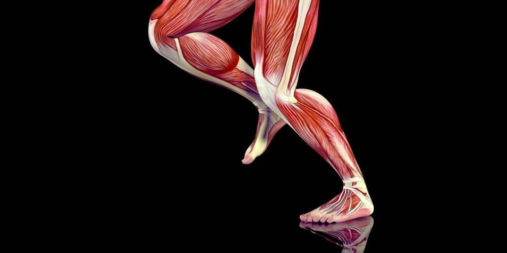 The muscles of the leg.
