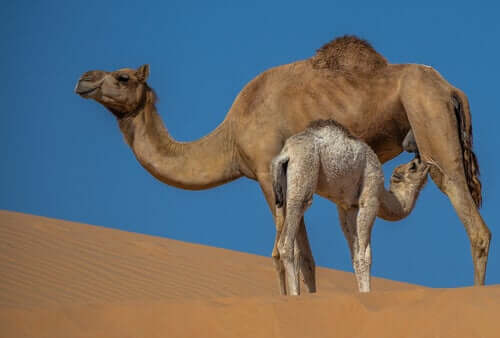 The Properties and Benefits of Camel Milk