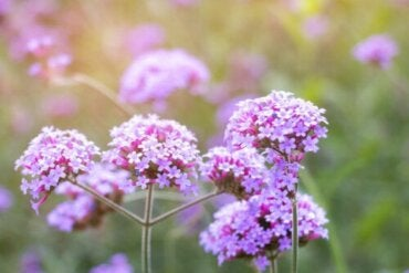 Description, Characteristics, and Uses of Verbena