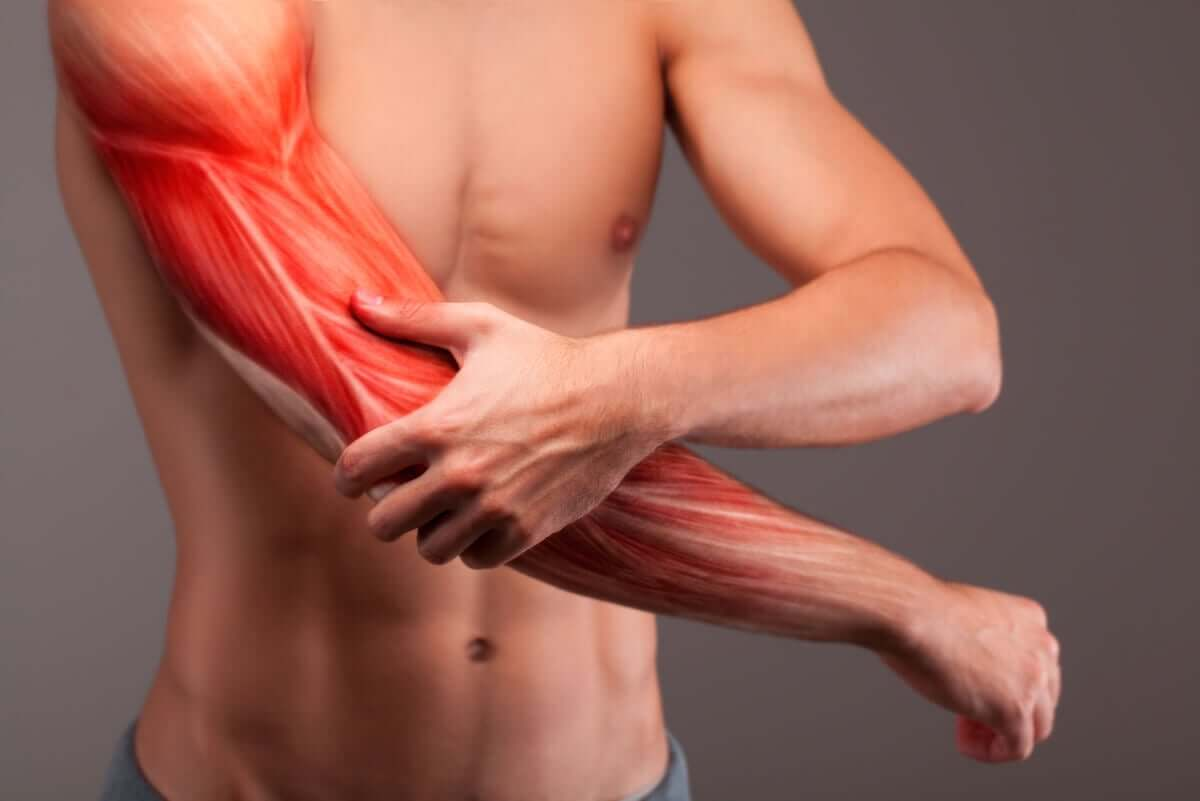 The muscles of the arm.