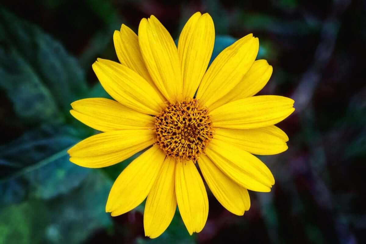 A golden-colored arnica flower.