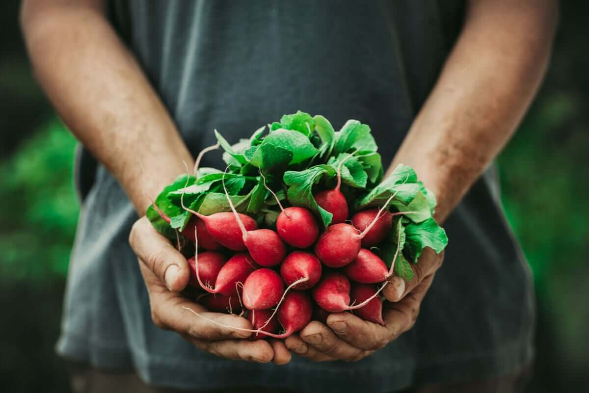 A gardener holding a bunch of radishes.