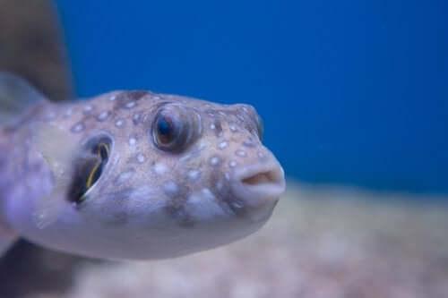 A toxic fish.