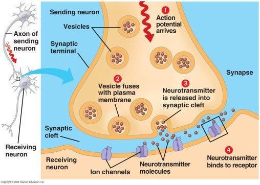 Synapses and nerves.