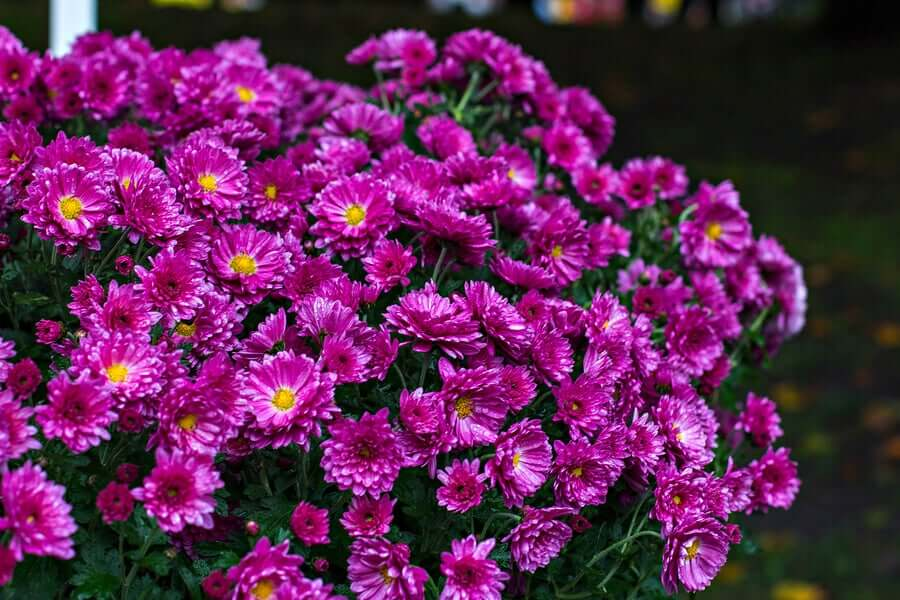 Chrysanthemum furtescens.