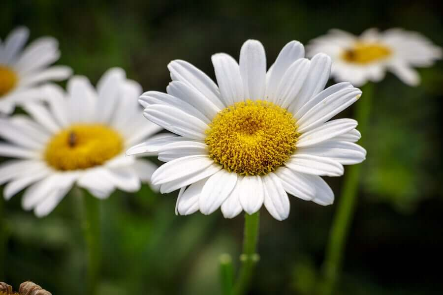 Classic daisies in a garden.