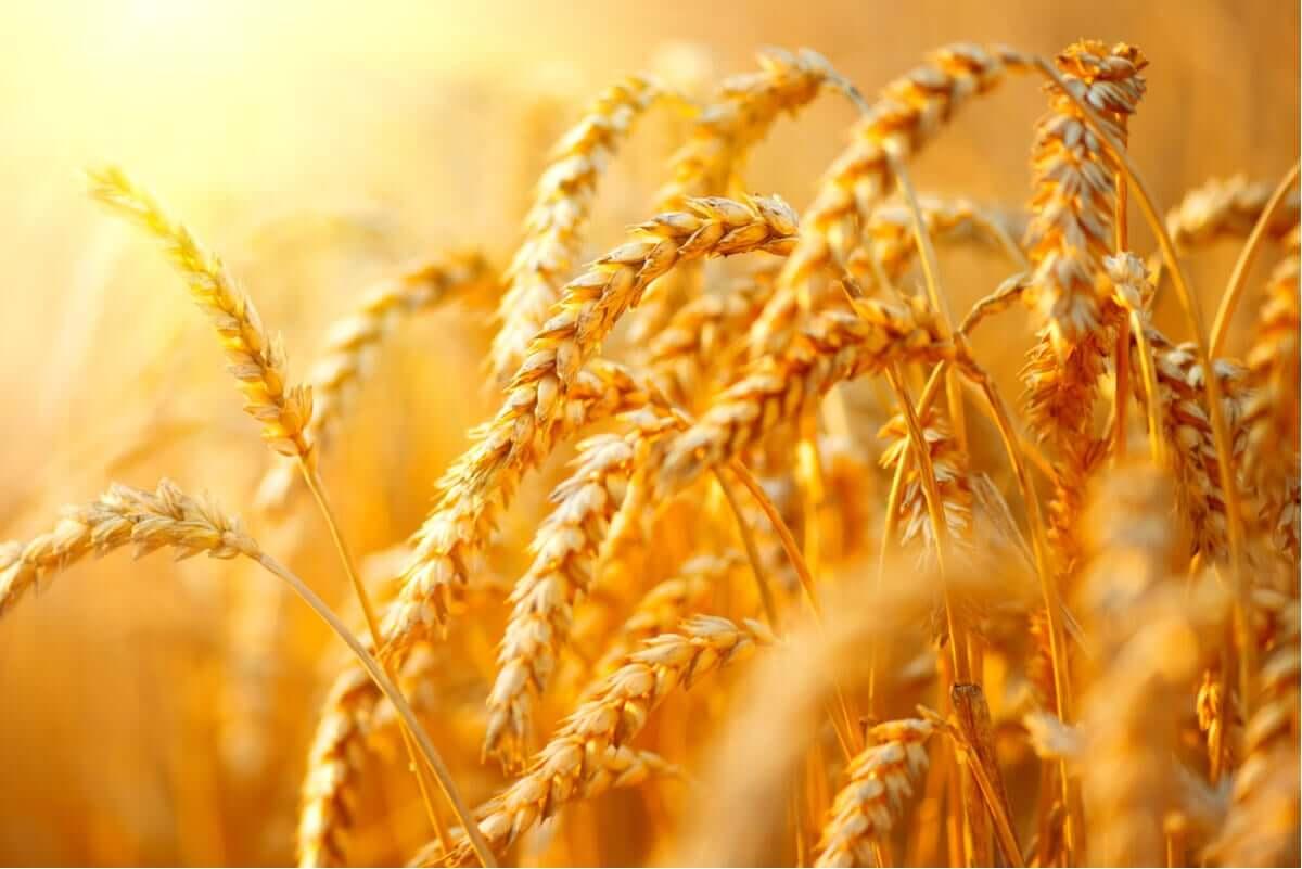 Stalks of wheat.
