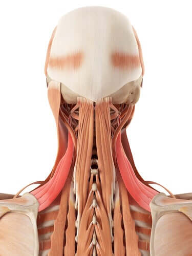 Neck Anatomy: Bones and Cartilage