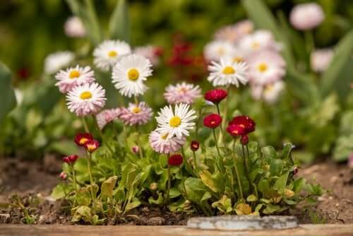 8 Types of Daisies and How to Care For Them