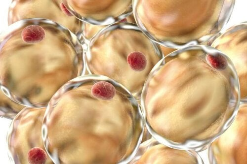 A close up of adipose cells.