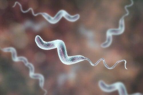 A close up of campylobacter bacteria.