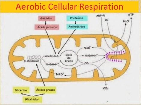 Aerobic cellular respiration.