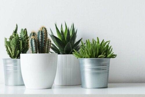 Cacti in flowerpots.