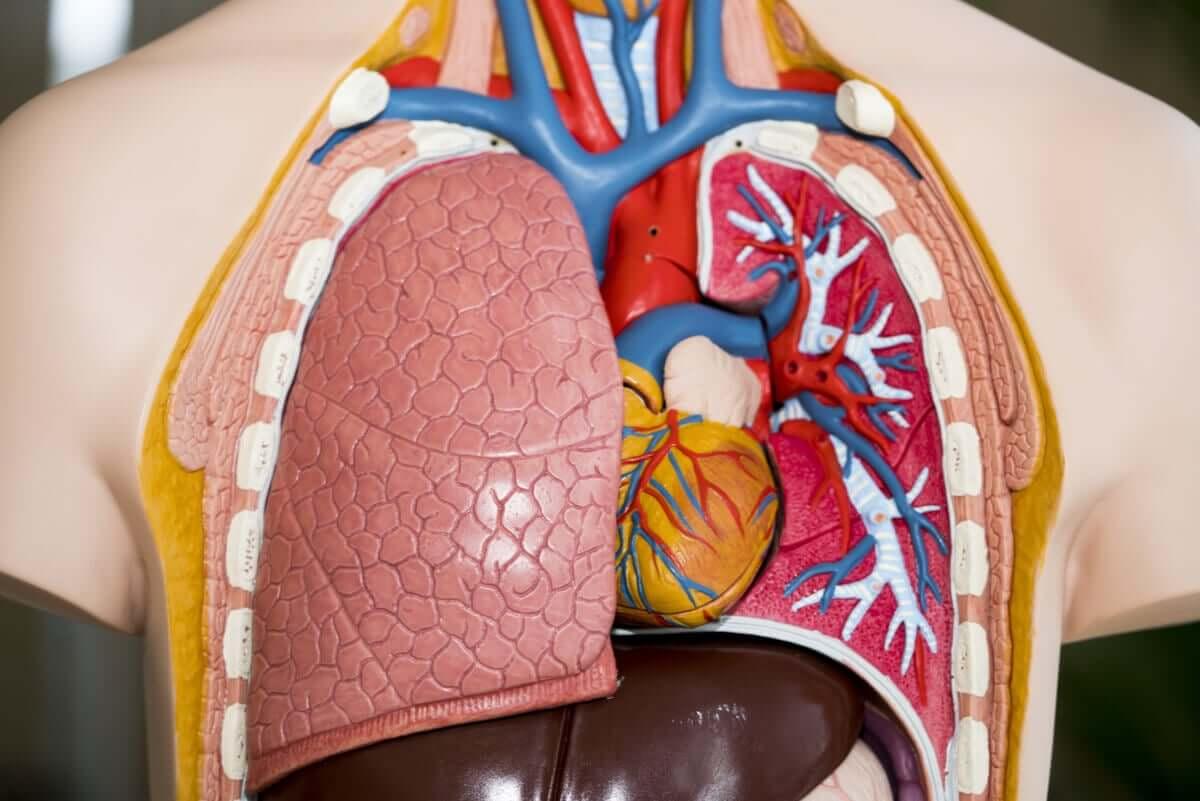 Plastic lungs.