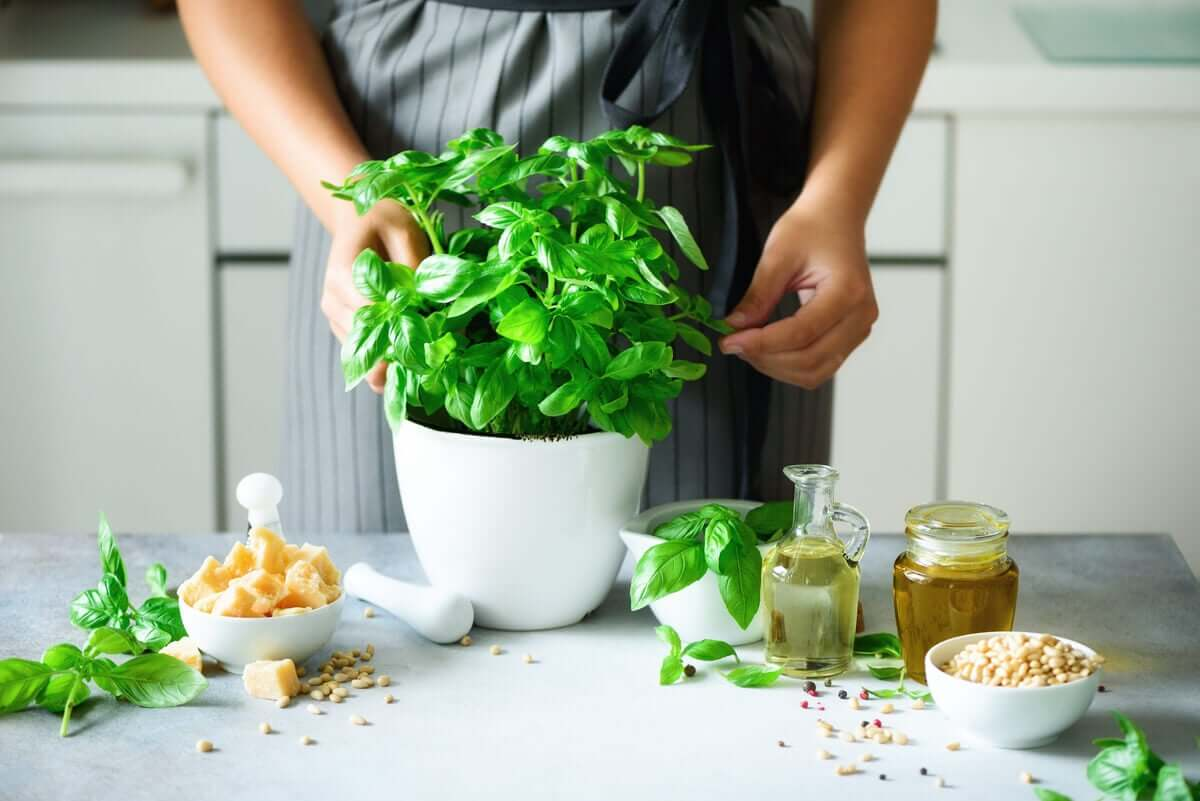 Basil is popular in world cuisine and also in natural medicine.