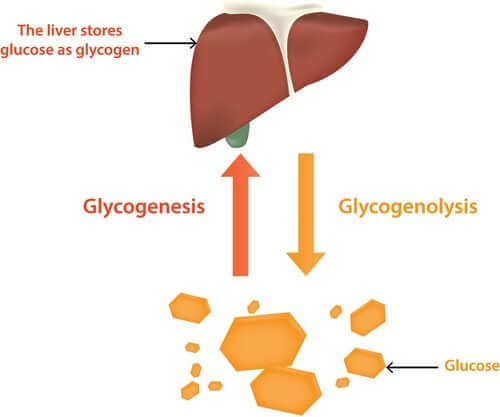 The liver stores glucose as glycogen, and glucagon helps to convert it back to glucose when blood sugar levels fall.