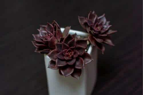 7 Weird Black Plants for Your Home