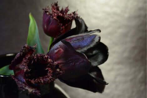 Queen of the Night Black Tulips.