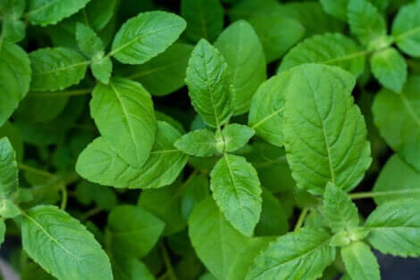 Fresh basil plants.