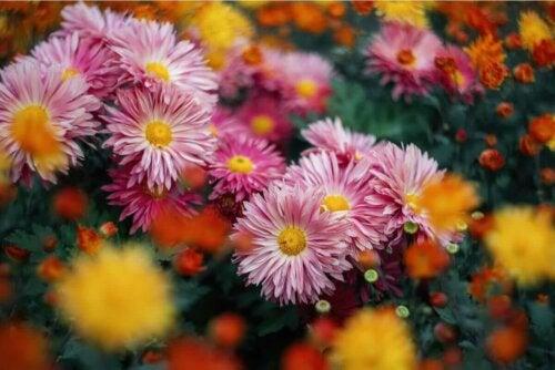 chrysanthemum flowers in a field