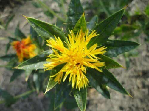 Safflower Oil Uses, Benefits and Properties