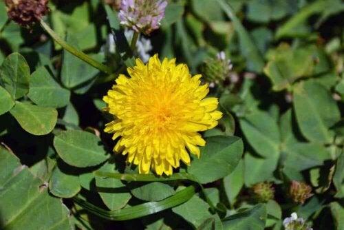 Ένα λουλούδι πικραλίδα.