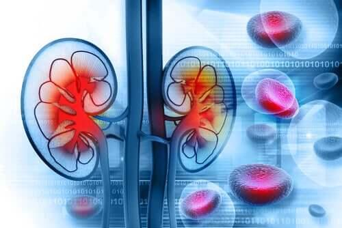 An illustration of the kidneys.
