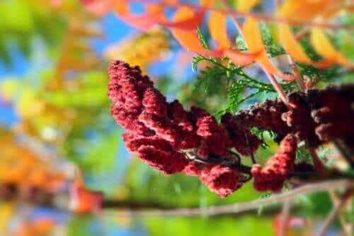 Carmine Herb: Properties, Uses, and Contraindications