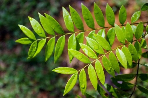 A Tongkat Ali plant.