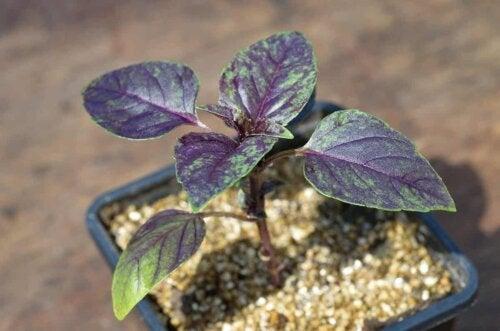 En lilla plante