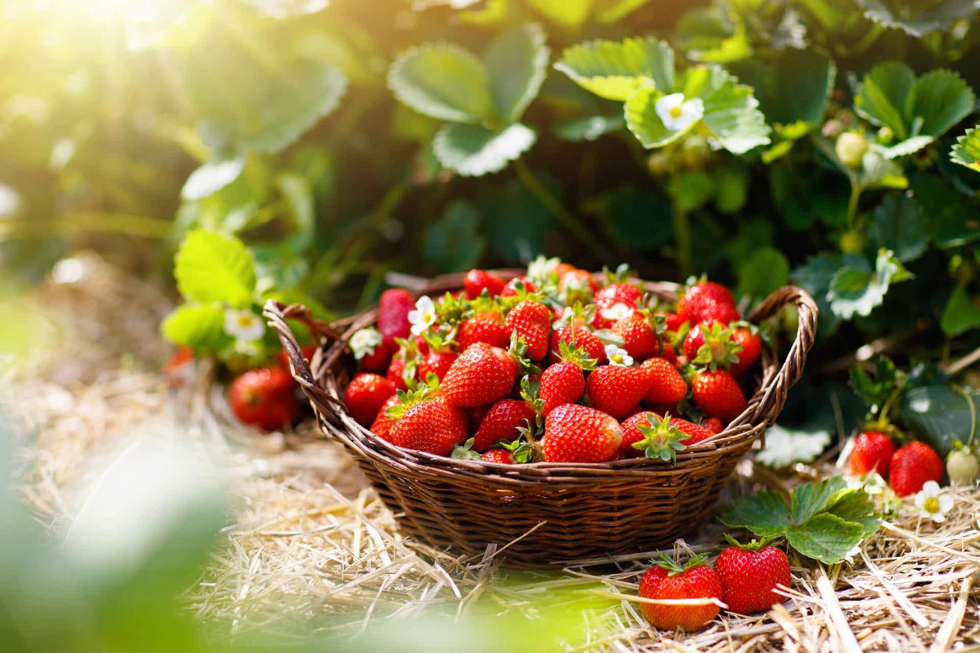 Freshly picked strawberries in a basket.