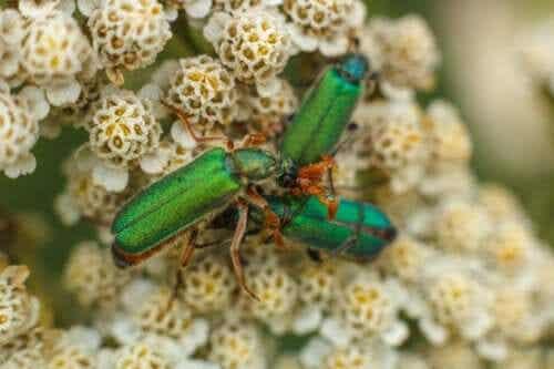 Spanish Fly Drops: Aphrodisiac or Poison?