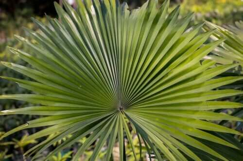 What is Saw Palmetto and What's It Used For?