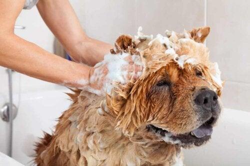 A dog bathing.