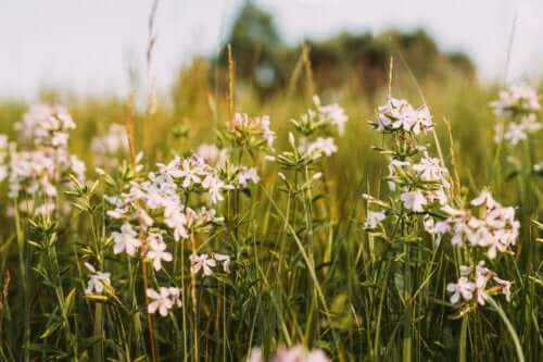 The Properties and Medicinal Uses of Soapwort