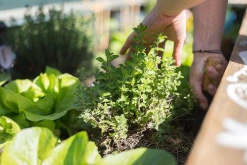 καλλιέργεια φυτών κηπουρική
