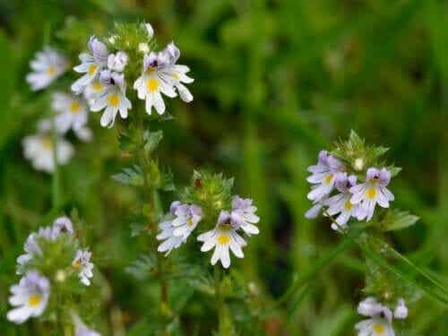 What is the Eyebright Plant and What Can You Use it For?