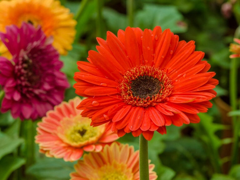 4 Tips for Caring for Gerberas at Home