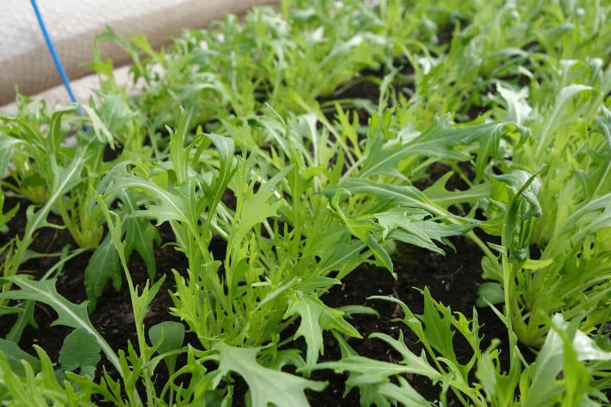 Mizuna vokser i jord.