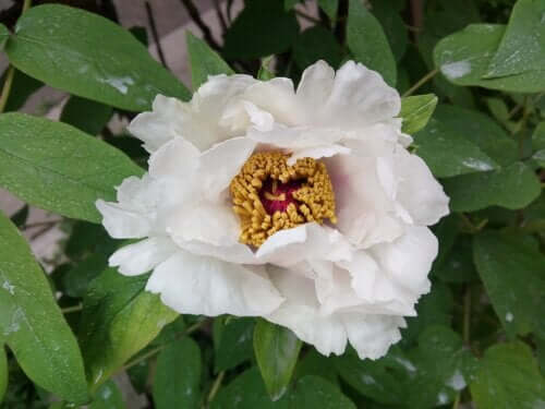 White Peony Root: Benefits and Side Effects