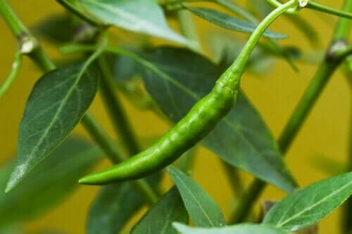 The Properties of Ibarra Chili Peppers