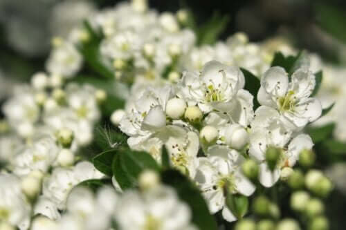 Common Hawthorn: Uses, Benefits and Risks